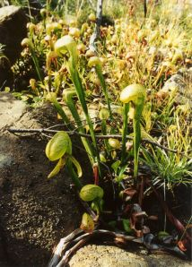 The carnivorous Darlingtonia grow profusely on Siskiyou Land Conservancy's Stony Creek property.