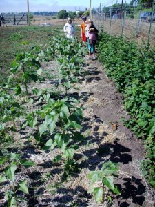 Jacoby Creek School students work the sunflowers and raspberries.