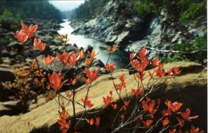Western azalea overlooking the North Fork Smith River, on the 80-acre parcel owned by Siskiyou Land Conservancy. Photo by Greg King.
